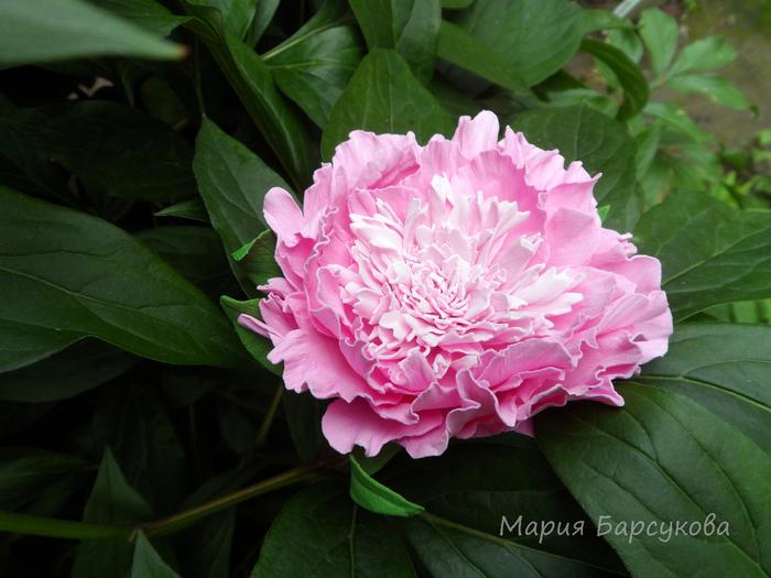 пион розовый из фоамирана (резинка для волос) (700x525, 401Kb)