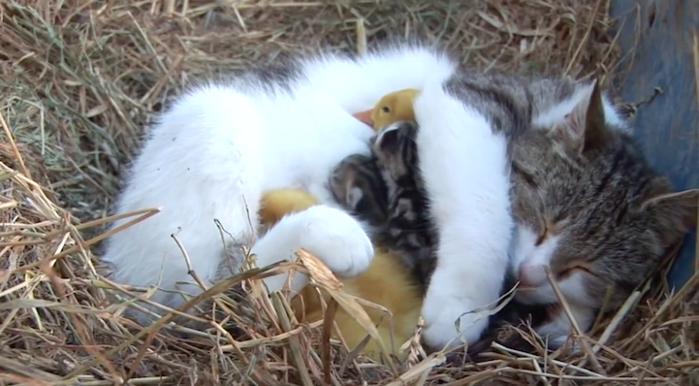 Как кошка стала мамой для утят