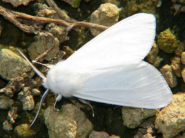 бабочка (620x464, 71Kb)