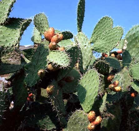 kaktus1 (445x420, 34Kb)