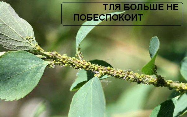 3370771_tlya (604x380, 40Kb)