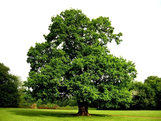 Магия деревьев, Дуб