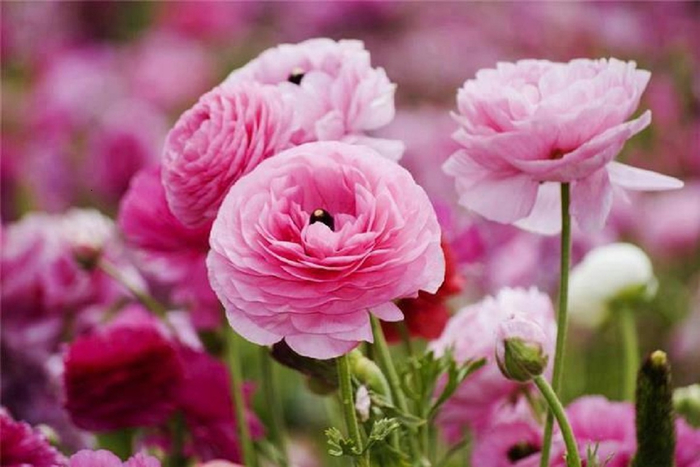 perfectly-pink-cabbage-roses (700x467, 290Kb)