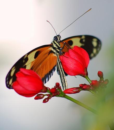 Бабочка и тюльпаны (438x500, 37Kb)