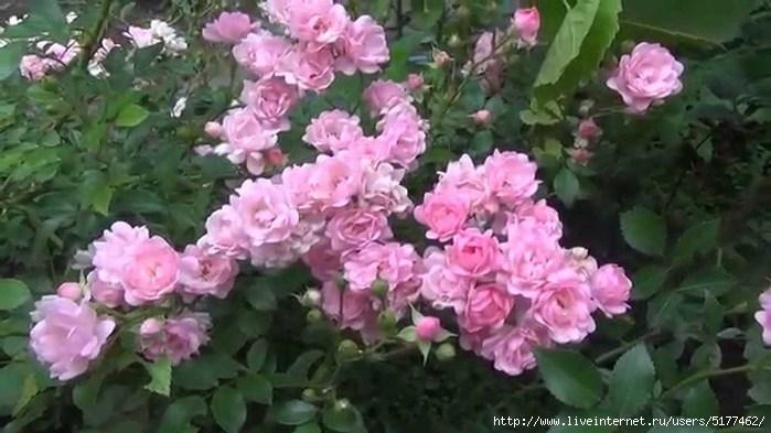 Почвопокровные розы обсуждение на