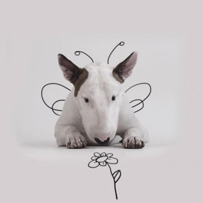 18194110-R3L8T8D-650-Jimmy-the-Bull-Terrier17__605 (650x651, 51Kb)