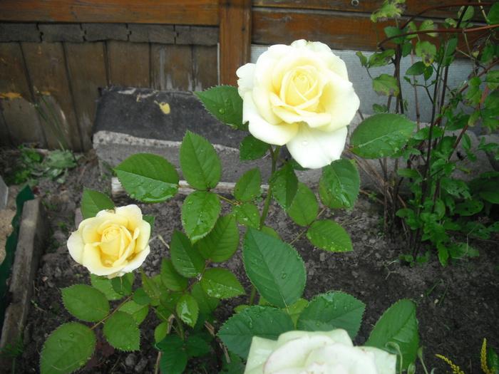 Жёлтые розы (700x525, 157Kb)