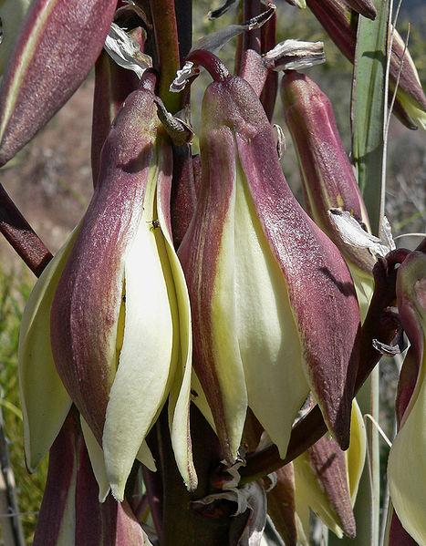 Yucca_baccata_4114 (467x599, 270Kb)