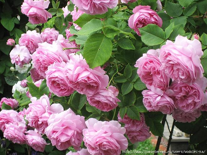 розы (660x495, 347Kb)