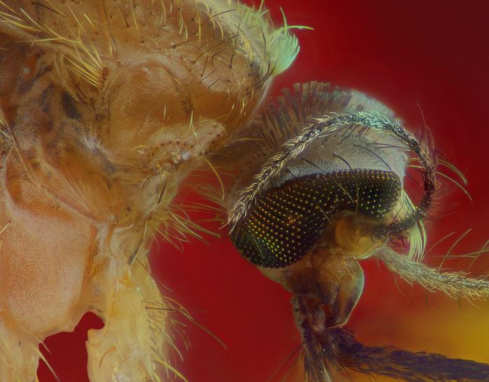 комар-пискун фото 2 (700x547, 438Kb)