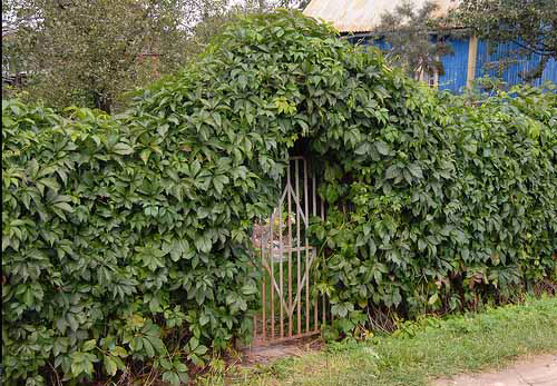 green-fence-hedge-climbing-plants-7 (500x347, 256Kb)