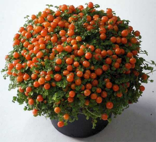 растения 3 (600x546, 40Kb)