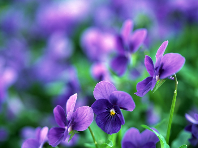 Nature___Flowers_Pansy_flowers_in_a_garden_065986_29 (640x480, 136Kb)