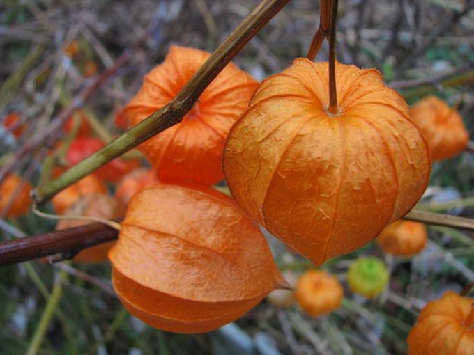Оранжевая ягода в цветке