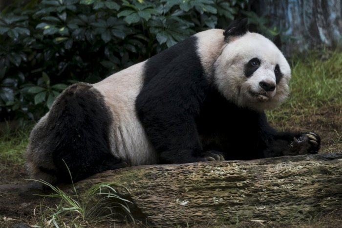 цзя цзя панда долгожительница 1 (700x466, 245Kb)