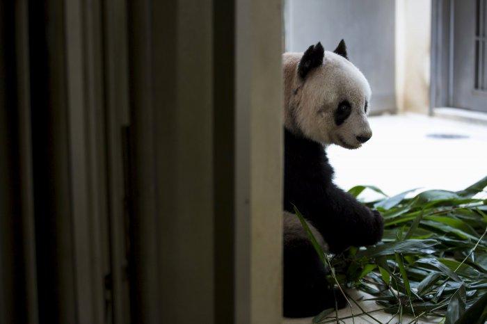 цзя цзя панда долгожительница 3 (700x466, 141Kb)
