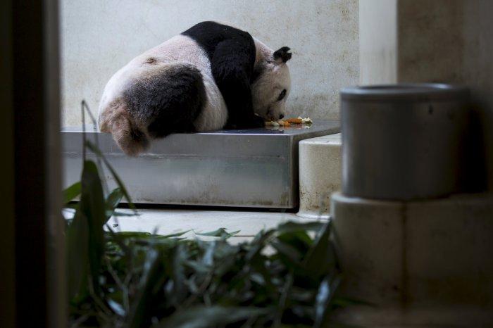 цзя цзя панда долгожительница 5 (700x466, 158Kb)