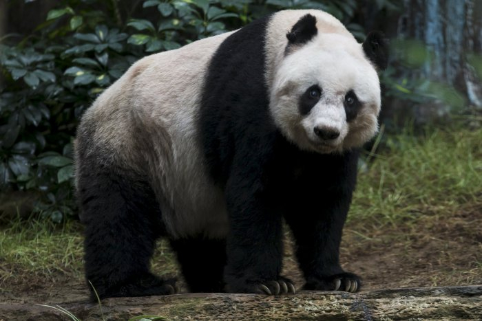 цзя цзя панда долгожительница 7 (700x467, 224Kb)