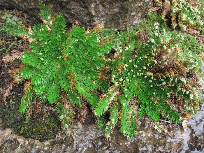 2971058_Selaginellalepidophylla11 (700x525, 142Kb)