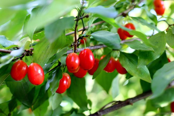 ягоды кизила польза 3 (700x466, 351Kb)