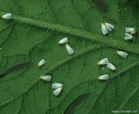 болезни огурцов в теплице и борьба с ними фото