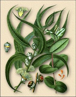 эвкалипт прутьевидный/3740351_evkalipt_prytevidnii (250x320, 23Kb)