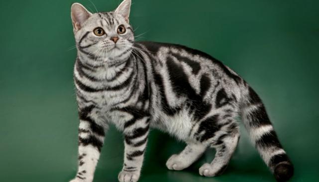 3. Американская короткошёрстная кошка (641x367, 168Kb)