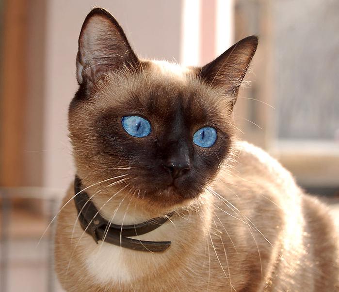 Породы кошек с фотографиями видео и описанием Питомники