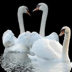 Swan_by_MerlinWebDesigner (250x250, 28Kb)