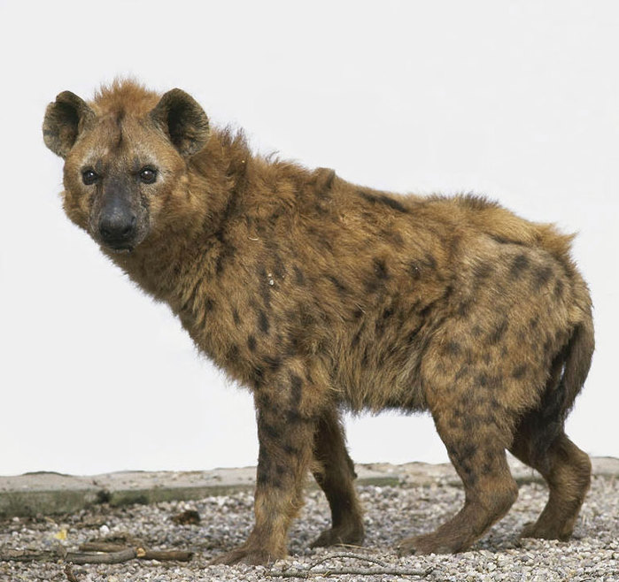 hiena (700x658, 98Kb)