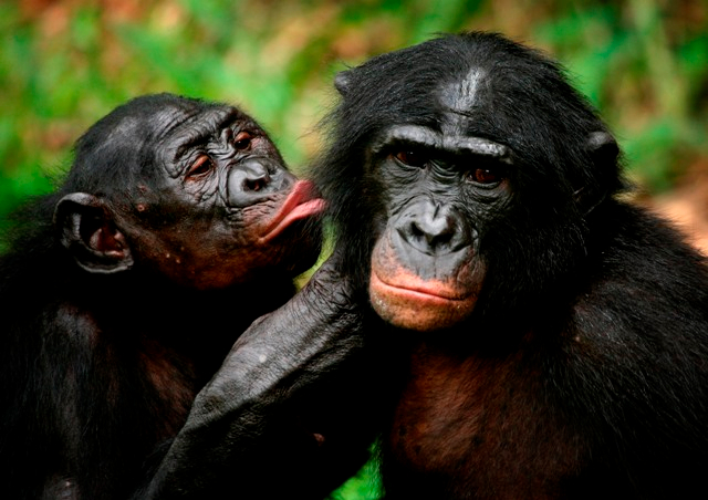 bonobo-apes-primates-unique-to-congo-and-humankinds-closest-relative-groom-one-another-at-a-sanctuary-just-outside-the-capital-kinshasa (640x452, 285Kb)