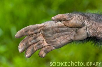 Z9120198-Bonobo_ape_hand-SPL (350x232, 61Kb)