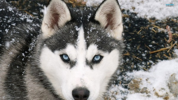 Снимаем портретное фото животных - собаки 10 (600x338, 70Kb)