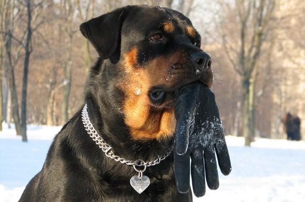 Снимаем портретное фото животных - собаки 12 (600x398, 65Kb)