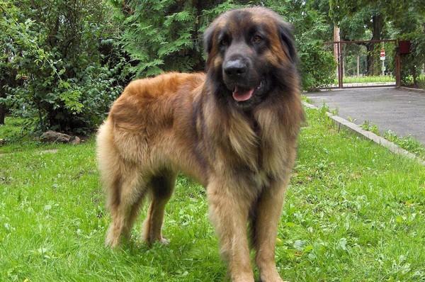 Снимаем портретное фото животных - собаки 23 (600x398, 111Kb)