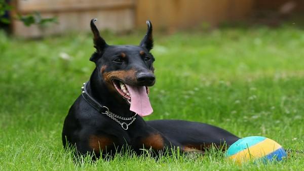Снимаем портретное фото животных - собаки 25 (600x338, 48Kb)