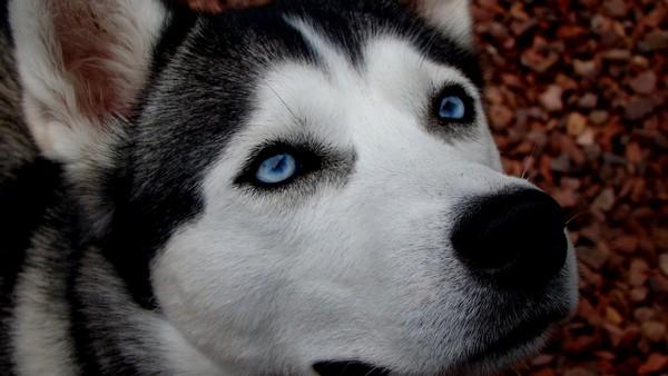 Снимаем портретное фото животных - собаки 27 (600x338, 52Kb)