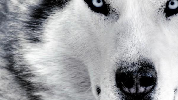 Снимаем портретное фото животных - собаки 39 (600x338, 51Kb)