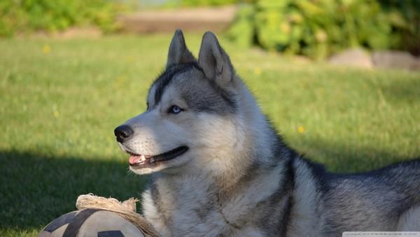 Снимаем портретное фото животных - собаки 45 (600x338, 45Kb)