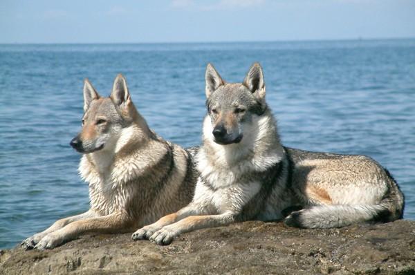 Снимаем портретное фото животных - собаки 54 (600x398, 72Kb)