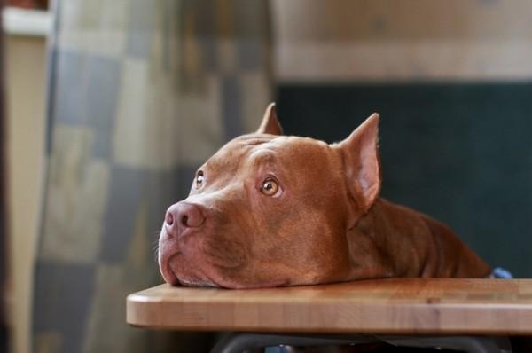 Снимаем портретное фото животных - собаки 63 (600x398, 32Kb)