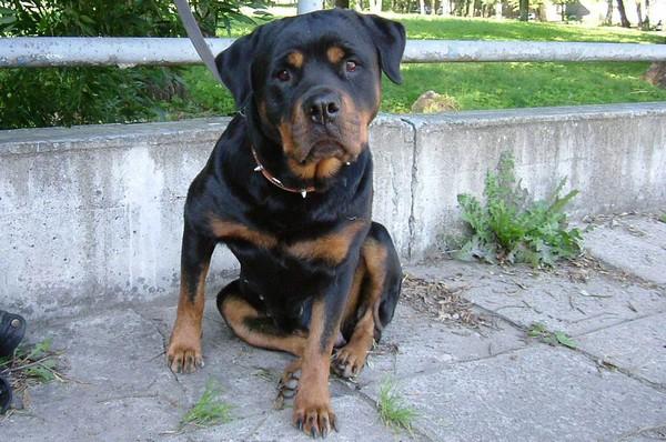 Снимаем портретное фото животных - собаки 65 (600x398, 94Kb)