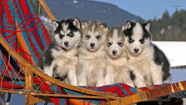 Снимаем портретное фото животных - собаки 81 (600x338, 65Kb)