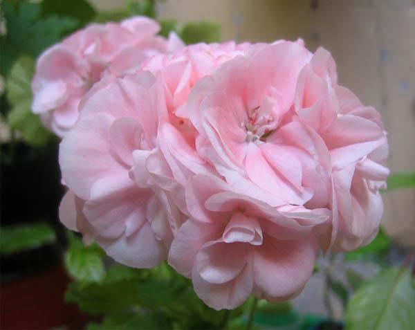 Pelargonium zonale Rose (600x477, 56Kb)