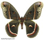 Превью 003-cecropia-moth (444x409, 91Kb)