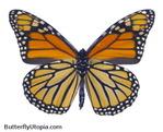 Превью 019-monarch-underside-2 (479x388, 94Kb)
