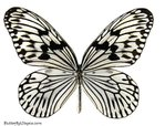 Превью 068-idea-idea-rice-paper-butterfly (522x400, 64Kb)