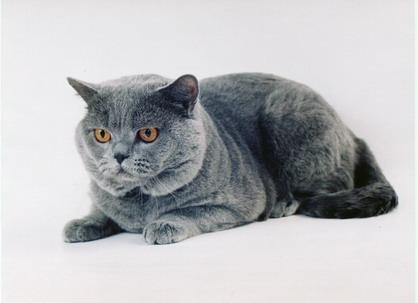 Какую породу кошки выбрать. Практические советы.