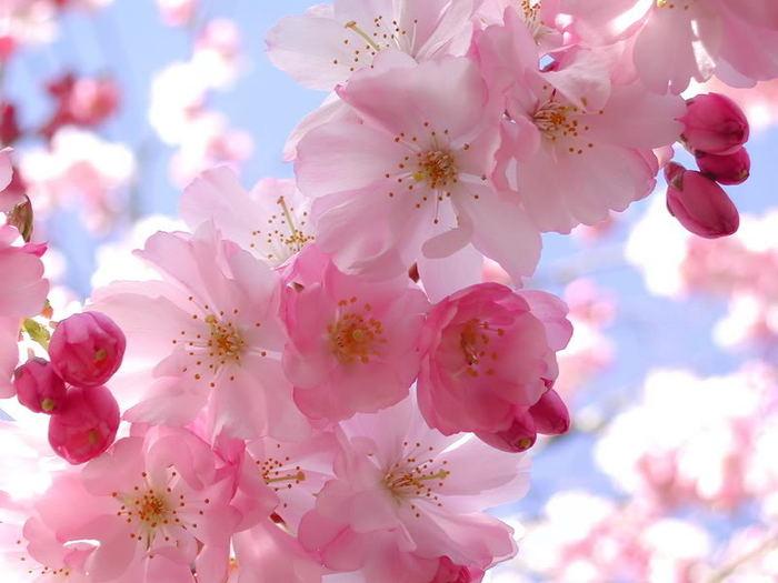 Цветущая вишня фото
