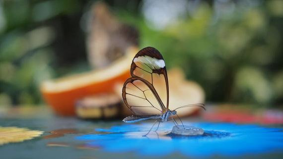 стеклянная бабочка (570x321, 45Kb)